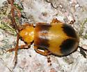 black and yellow beetle - Monocesta coryli