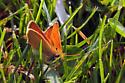 Orangish skipper - Thymelicus lineola