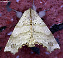 The Angel - Olceclostera angelica