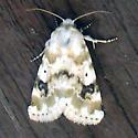 Moth - Schinia nundina