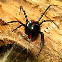Black Widow - Latrodectus variolus - female