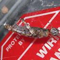 Parasteatoda tepidariorum (Common House Spider) with a Melanoplus punctulatus (Pine Tree Spur-throat Grasshopper) - Parasteatoda tepidariorum - female