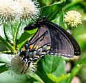 Eastern tiger swallowtail female dark form? - Papilio glaucus - female