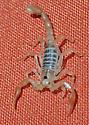 Small scorpion in home - Smeringurus mesaensis