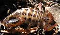 Scorpion - Superstitionia donensis