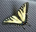 Eastern Tiger Swallowtail Butterfly? - Papilio canadensis