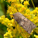 Mystery noctuid 1 on Goldenrod