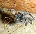 spider drama (Part 1) - Pholcus phalangioides - female