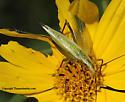 Katydid - Oecanthus forbesi - female