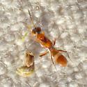 Ant-like orange chalcidoid (?) - Anastatus - female