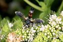 Fly - Cylindromyia