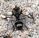 Tachinomyia sp. - Tachinomyia