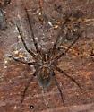 spider - Calymmaria emertoni - female