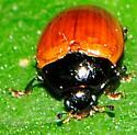 Pleasing Fungus Beetle Tritoma - Tritoma