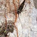 Bugs on Hickory Tree - Cerastipsocus venosus