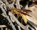 Mystery Wasp - Polistes flavus - male