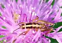 insect ? - Ceuthophilus