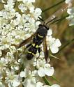 Chalcid Wasp - Leucospis affinis - female