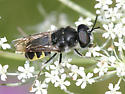 Soldier Fly - Stratiomys meigenii - male