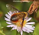 Beefly sp? - Villa