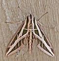 MothBandedSphinx_Eumorpha_fasciata10292006_ - Eumorpha fasciatus