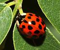 Ladybug 1 - Harmonia axyridis