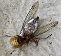 Vespa crabro - European Hornet kills Annual Cicada - Vespa crabro