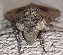 Huge gray noctuoid - Manduca sexta