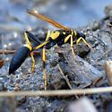Black and Yellow Mud Dauber? - Sceliphron caementarium