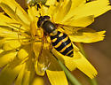 Syrphid fly 484A 1651 - Syrphus