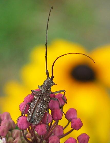 Carolina Pine Sawyer - Monochamus carolinensis