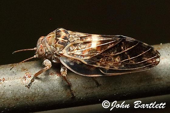 Psylloidea  - Pachypsylla venusta