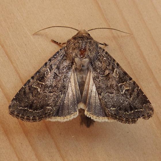 Noctuidae: Apamea devastator - Apamea devastator