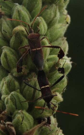 Leaf footed bug? - Leptoglossus phyllopus