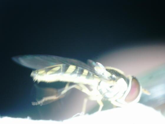 St. Andrews pupa on Lespedeza cuneata adult 2020 10 - Allograpta obliqua
