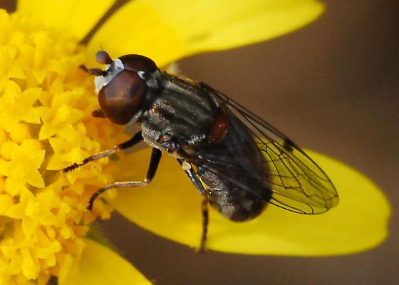 California Syrphid - Nausigaster unimaculata - male