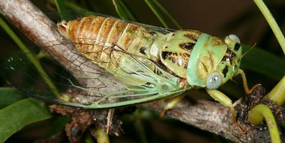 Cicada - Diceroprocta azteca