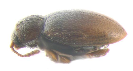 Cryptophagidae, lateral - Atomaria lewisi