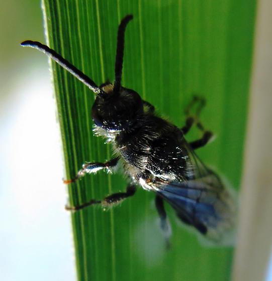 Hymenoptera - Paratiphia