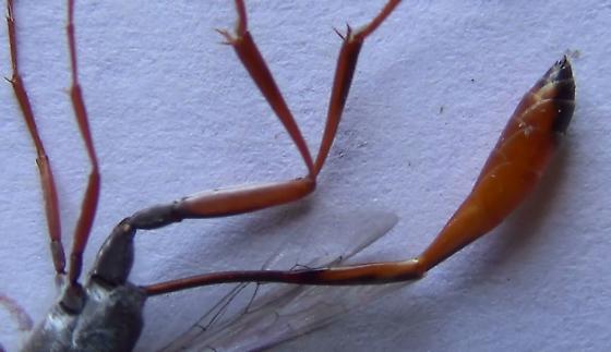 Sexing wasps in the genus Ammophila (lateral abdomen) - Ammophila - male