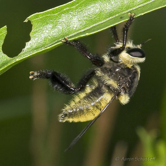 Bumble bee mimic Robber Fly - Mallophora fautrix