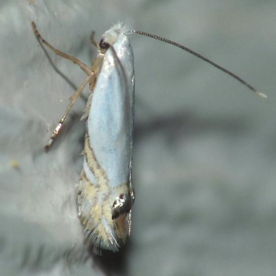 Lyonetiidae? - Proleucoptera smilaciella