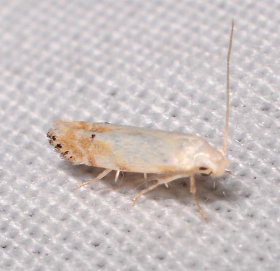Choleotechnites - Coleotechnites variiella