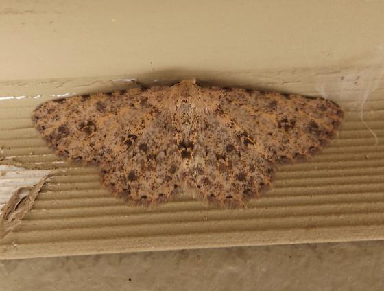 Unidentified Geometrid - Stenoporpia pulchella