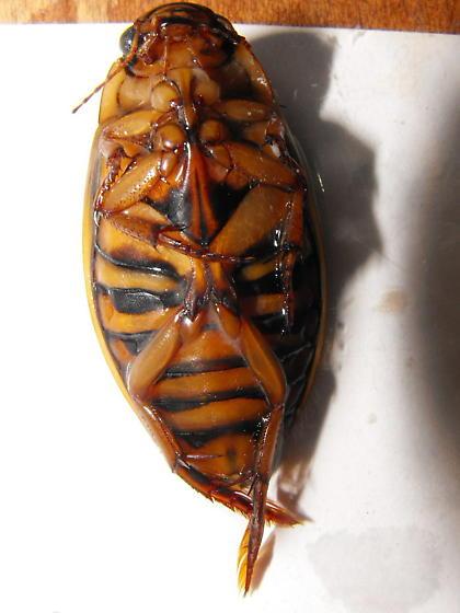Dytiscid - Dytiscus dauricus - female