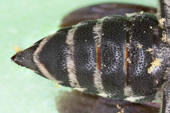 Cuckoo Leafcutter bee from oak-hickory forest - Coelioxys - female
