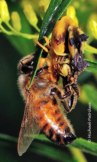 Phymata cf. americana - Phymata - male - female
