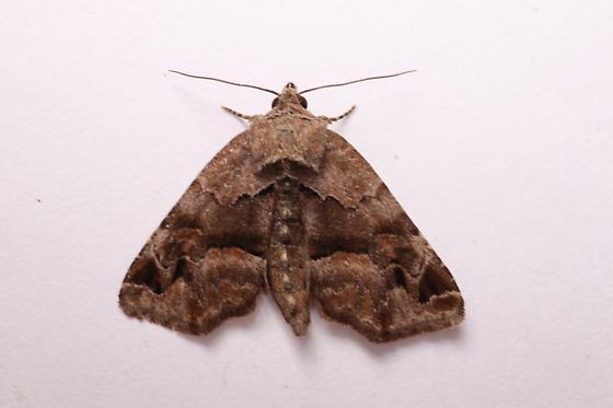 Niphonyx segregata