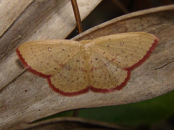 Unknown Geometrid Moth? - Cyclophora culicaria