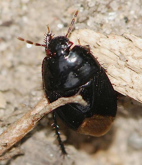 black and brown beetle - Pangaeus bilineatus